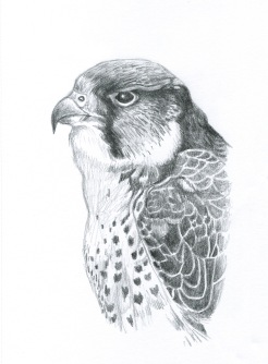 Peregrine drawing (2013)