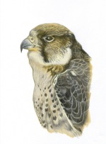 Peregrine drawing with digital coloring (2013)